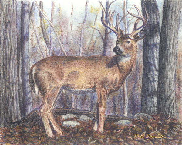 White-tail deer art done in chalk pastel on paper.